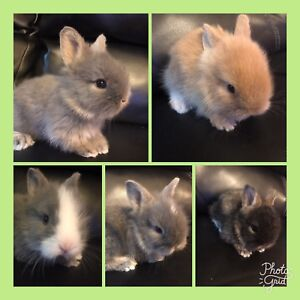 5 baby lion head bunnies