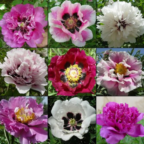 10 samen baum strauch pfingstrose mix paeonia rockii p onie tree peony ebay. Black Bedroom Furniture Sets. Home Design Ideas
