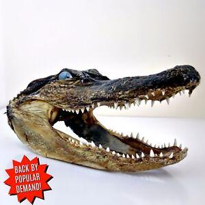 Taxidermy Alligator Head from 3 foot Gator Alligator Mississippiensis Animal