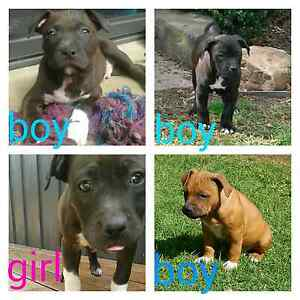 American Staffy Puppies - male & female Amstaff pups Geelong Geelong City Preview