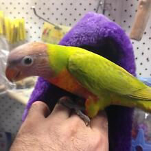 Rainbow Lorikeets Handraised Rooty Hill Blacktown Area Preview