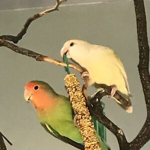 Love Bird Pair with Cage