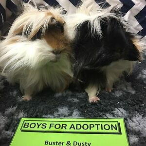 Adopt Guinea Pigs at The Cavy Cottage Geebung Brisbane North East Preview