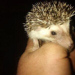 hedgehog babys