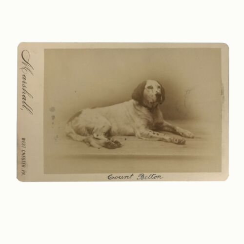 "Original Cabinet Card, Studio Photo, Pointer, ""Count Belton"" 1886, Philadelphia"