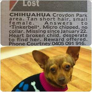 lost/stolen chihuahua Croydon Park Port Adelaide Area Preview
