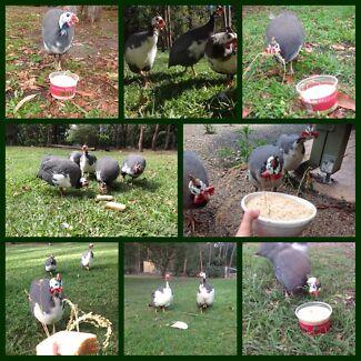 Fertile Guinea Fowl Eggs — 80 for $80