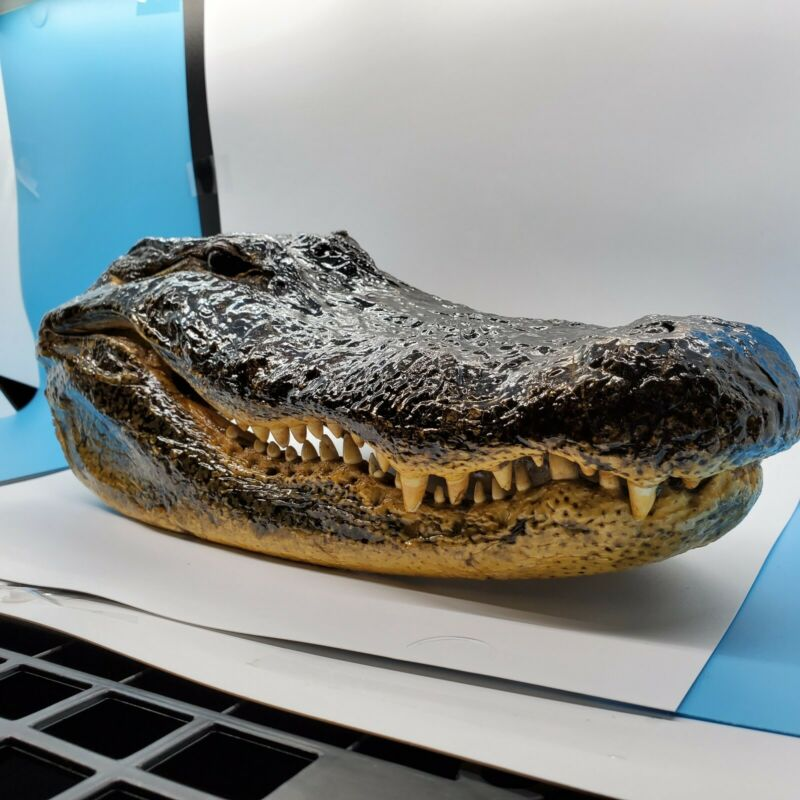 Alligator Head Taxidermy Crocodile 14+ Inches