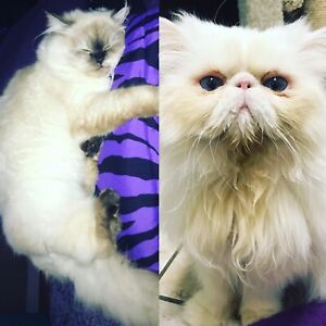 Ragdoll Persian Kittens due in 2 weeks!