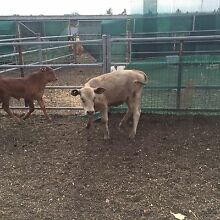 Murray grey heifer calf weaned and on grain ready to go Windsor Hawkesbury Area Preview