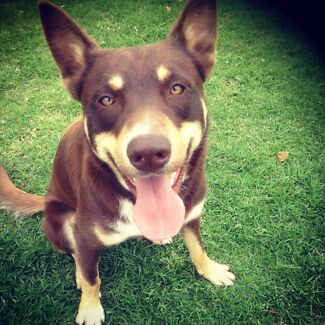Entire red and tan male kelpie price negotiable for right owner Cessnock Cessnock Area Preview
