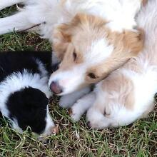 8 pure breed long hair border collie pups Young Young Area Preview