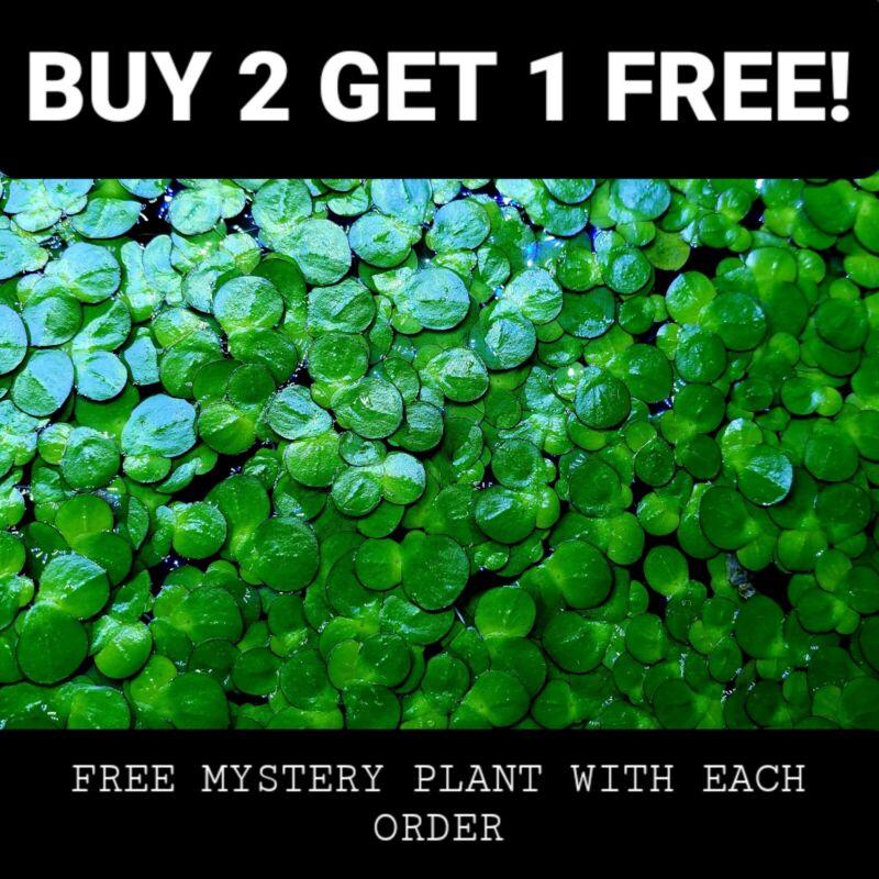 Giant Duckweed + Free Bonus Plant Live Floating Aquarium Plants Buy 2 Get 1 Free