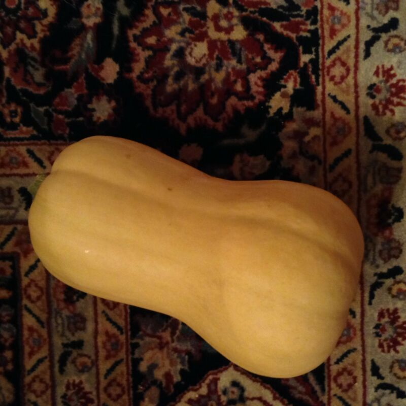 Giant Butternut Squash -- 12 seeds. Easy to grow, easy to cook, last all winter!