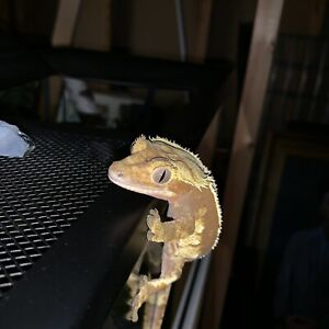 Beautiful Female Created Gecko for Sale!!!