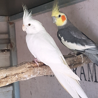 Beautiful Cockatiels For sale.