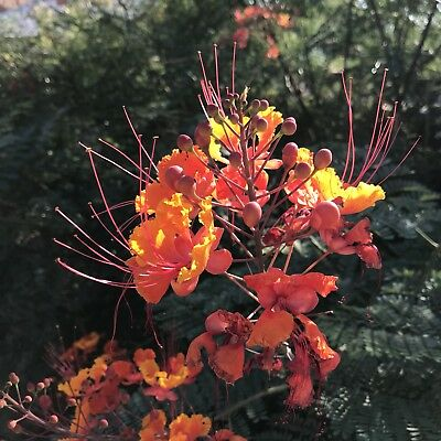 Red Bird of Paradise Plant Seeds Lot of 10 Caesalpinia pulcherrima Desert Shrub