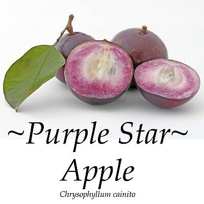 ~PURPLE STAR APPLE~ Chrysophyllum Cainito CAIMITO FRUIT TREE Small Potted PLANT Potted Fruit Plants