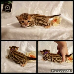 Top quality TICA registered Bengal babies!