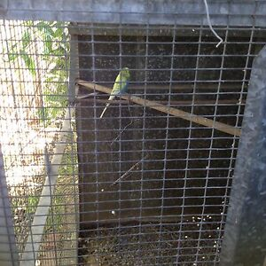 Light blue and lime green male budgie South Perth South Perth Area Preview