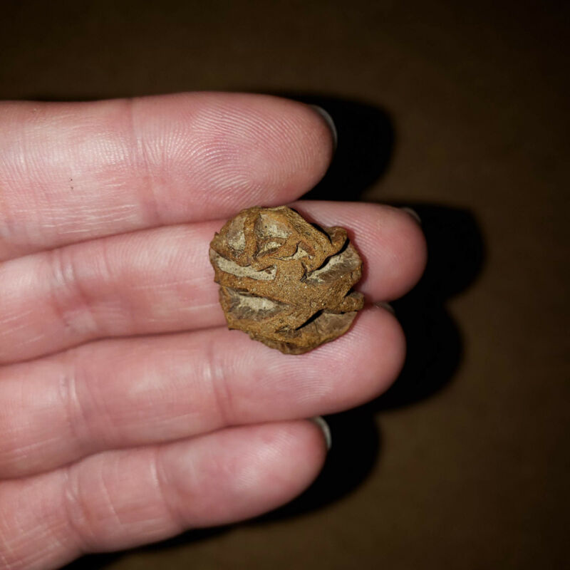 METASEQUOIA PINE CONE  Dinosaur Age Hell Creek Cretaceous - Nice Detailed Fossil