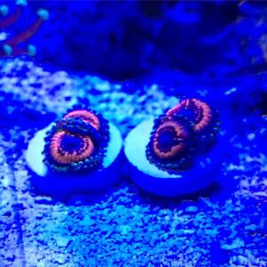 Saltwater Coral Frags for Sale - Zoas & LPS ***$10-$20***