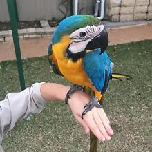 7mth Blue and gold macaw Punchbowl Canterbury Area Preview