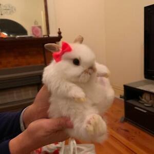 Baby mini loop rabbits for sale