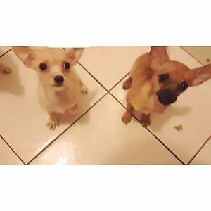 Chihuahua x jack Russell puppies Blackett Blacktown Area Preview