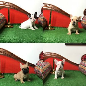 LOVELY FRENCH BULLDOG - BOULEDOGUES FRANCAIS