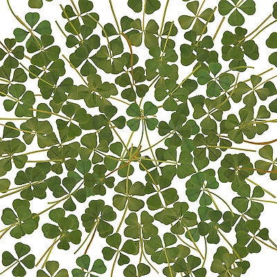 Wholesale 100pcs Real 4 Four Leaf Clover Irish Good Luck Charm Wedding Favors L