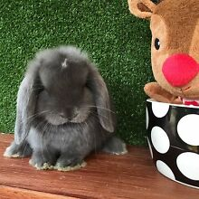 Purebred Mini lop baby (Blue VM) Kings Park Brimbank Area Preview