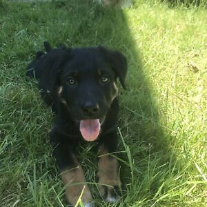 Rottweiler cross puppies (1 left)