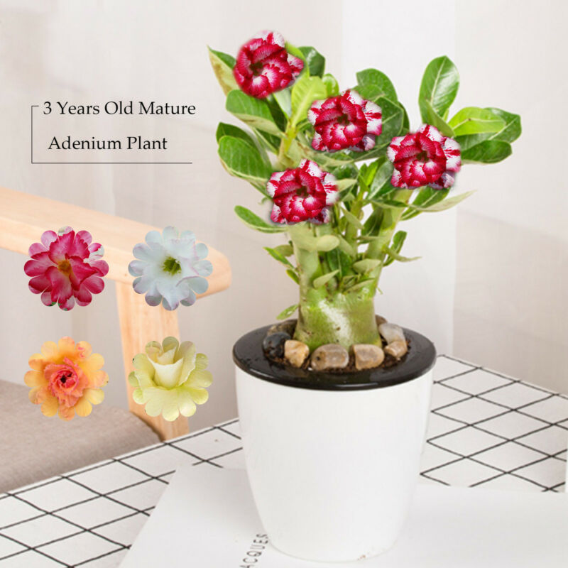 Mature Adenium Obesum Desert Rose Plants Double Flowered Easy Care