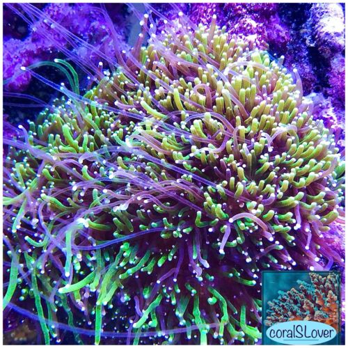 """live coral Two Color Galaxea Neon Green And Purple Tentacle """"coralSLover"""""""