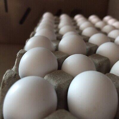 100 Bobwhite Northern Quail Hatching Eggs