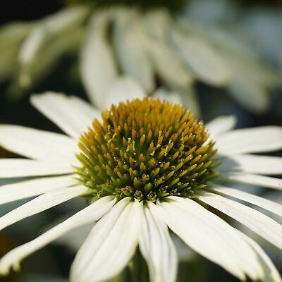 Weißer Sonnenhut -  Echinacea purpurea 'Alba' Stauden Bienenpflanze winterhart