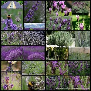 10 Lavender Mix 3-4 Types RANDOM French English Avonview Fernleaf Hidcote Plants