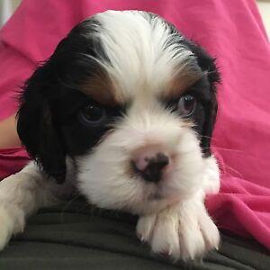 King Charles Puppy Brassall Ipswich City Preview