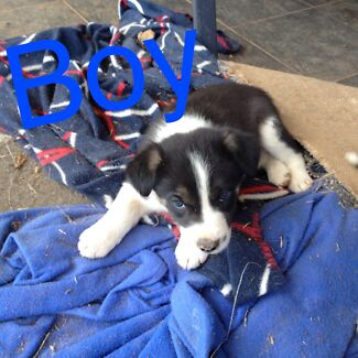 3/4 border collie x kelpie Mendooran Warrumbungle Area Preview