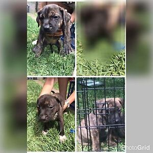 English Staffy pups Bankstown Bankstown Area Preview