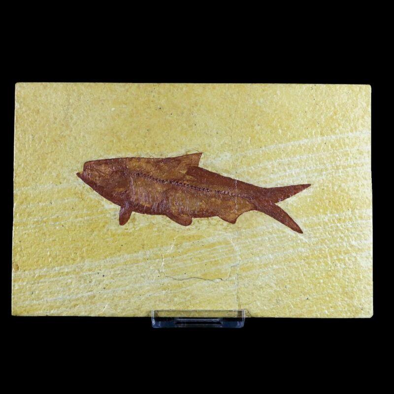 """3.9"""" IN Knightia Eocaena Fossil Fish Green River FM WY Eocene Age COA & Stand"""