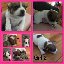 Jackrussell x foxie -2 females Gulgong Mudgee Area Preview