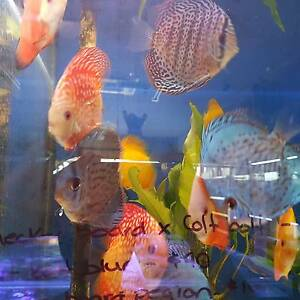 MEDIUM & LARGE DISCUS CHRISTMAS SPECIAL!! 20% OFF Cabramatta West Fairfield Area Preview