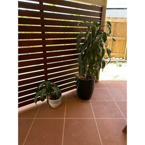 2x plants and pots narangba