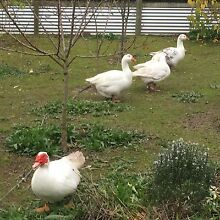 Geese and a Muscovy duck for sale Delamere Yankalilla Area Preview
