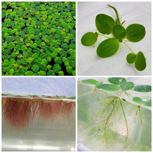 Live Floating Plant Combo: Dwarf Water Lettuce + Red Root Floaters