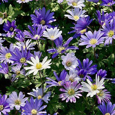 25 ANEMONES 'BLANDA MIXED' SPRING FLOWERING GARDEN BULBS PLANT PERENNIALS CORMS