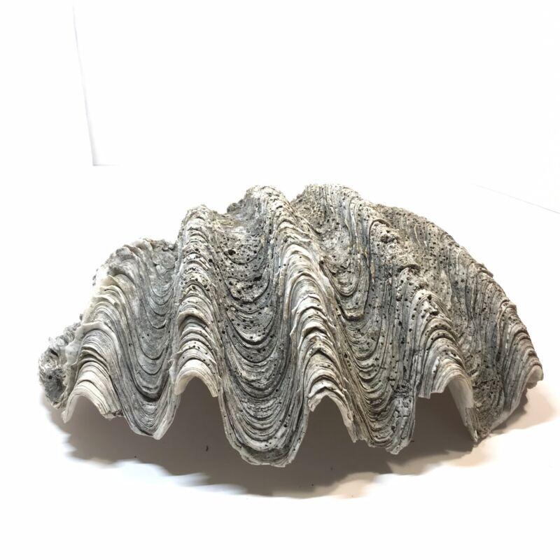 VTG Large Tridacna Gigas Clam Shell Many Ripples Rare