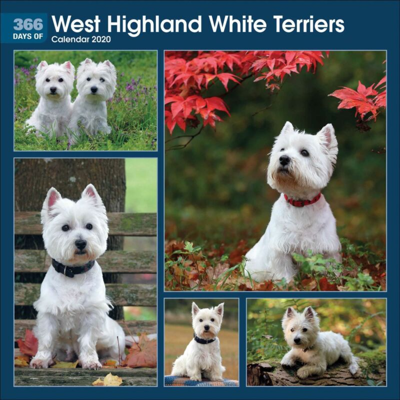365+Days+of+West+Highland+White+Terriers+2020+Official+Square+Wall+Calendar